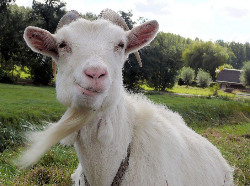 Is Goats' Milk Healthy?